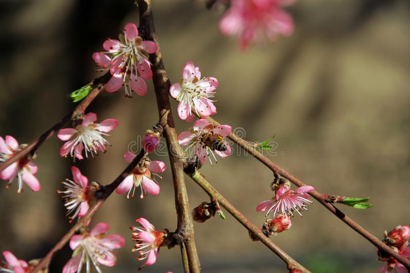Peach in the spring and bees that work well stock image