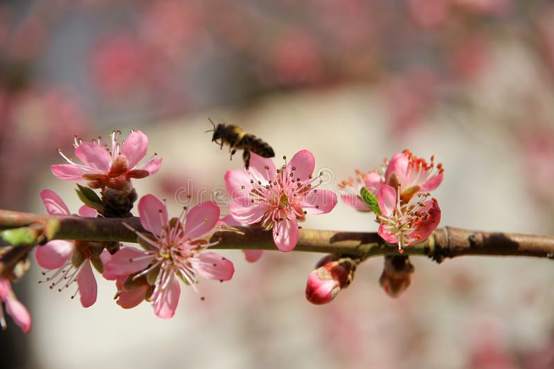 Peach in the spring and bees that work well royalty free stock photos