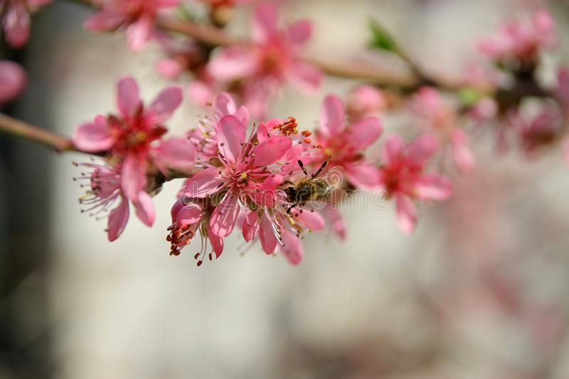 Peach in the spring and bees that work well stock images