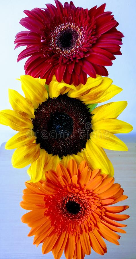 Flower traffic lights. A sunflower and a red and orange gerber daisy flowers. Closeup. royalty free stock images