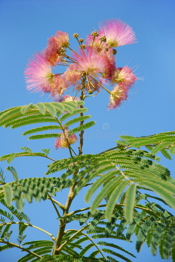 Flower tree - Albitius against stock photography
