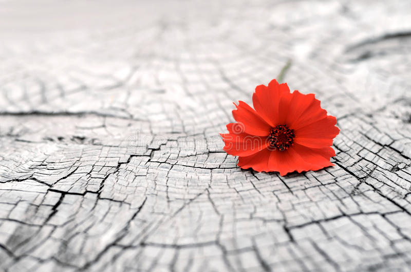 Flower, tree. Red poppy on a cut tree stock photography