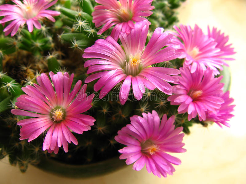 flower of trichodiadema densum royalty free stock photography