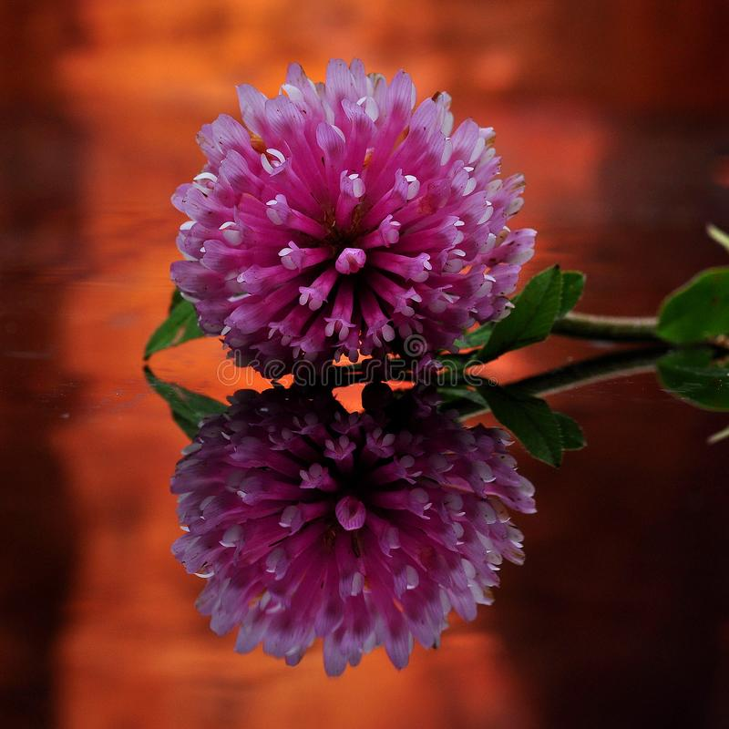 A flower of Trifolium in mirror image. A violet flower of Trifolium in mirror image, with bronze-colored surroundings royalty free stock photos