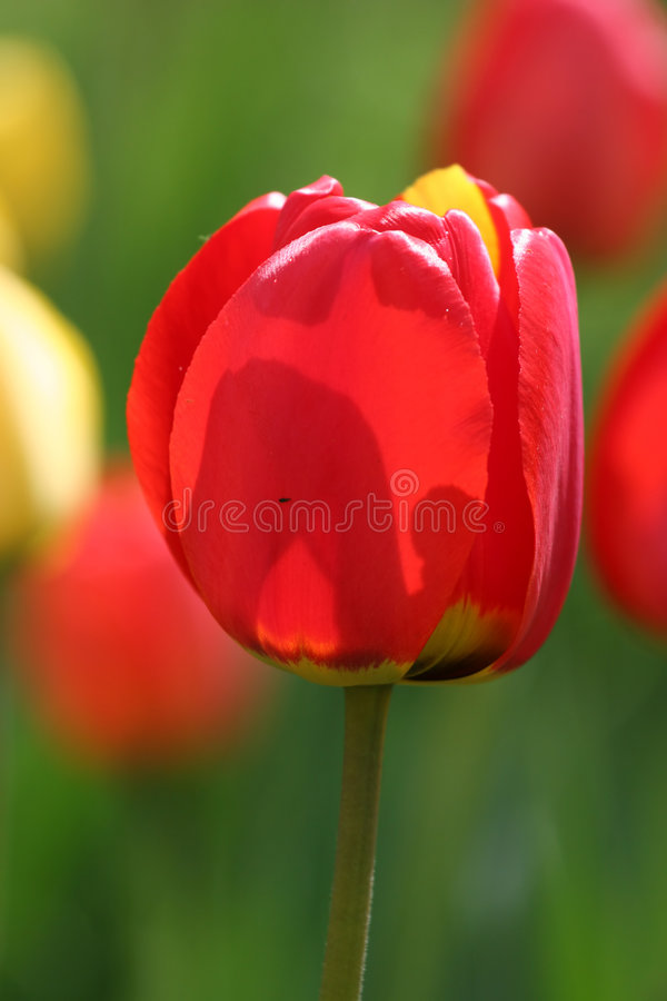 Flower of a tulip appearing through on the sun stock photos