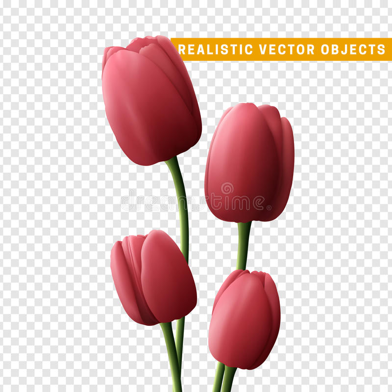 Flower tulip realistic isolated on transparent background. vector illustration