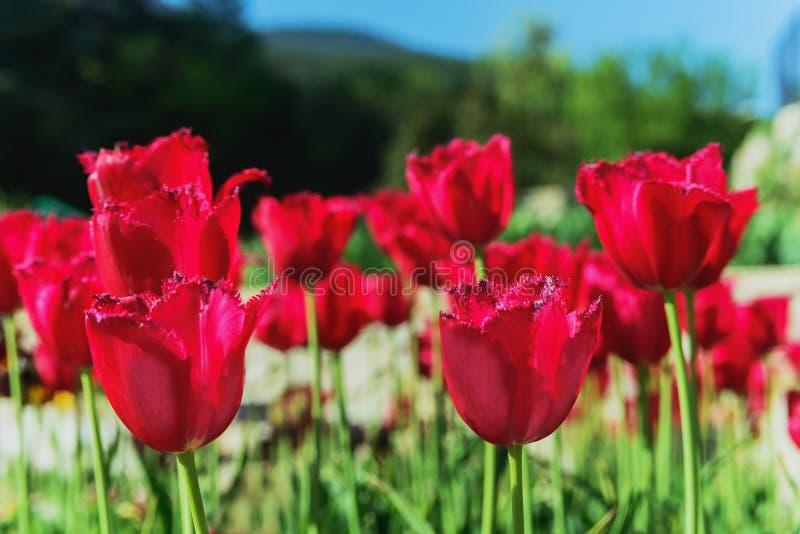 Flower tulip stock image