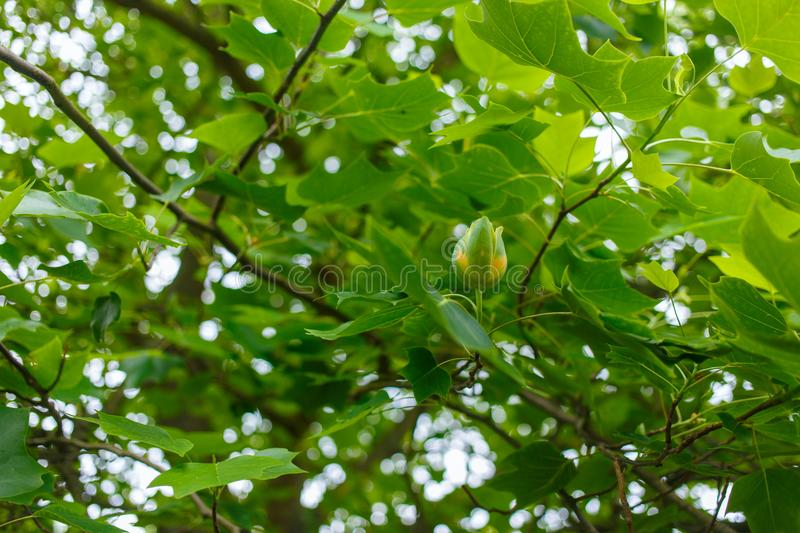 Flower of a tulip tree royalty free stock image