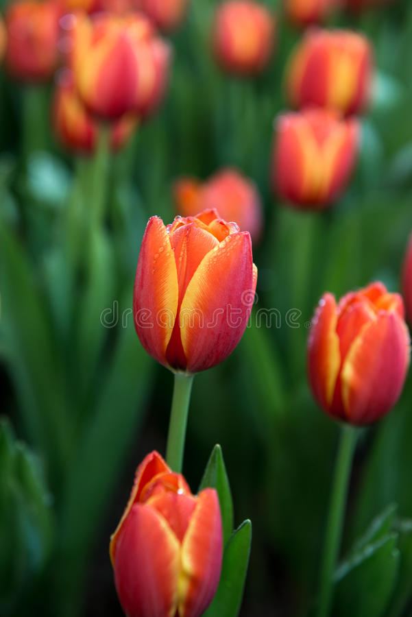 Flower tulips background. Beautiful view of color tulips royalty free stock photography