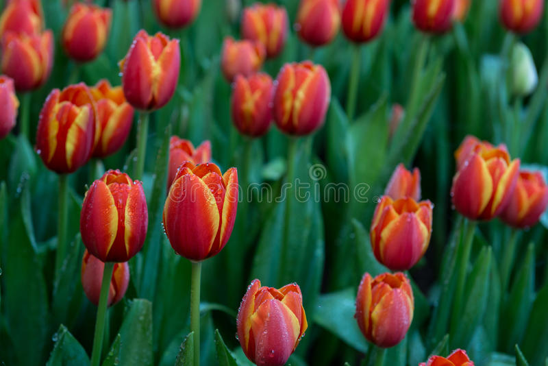 Flower tulips background. Beautiful view of color tulips stock images