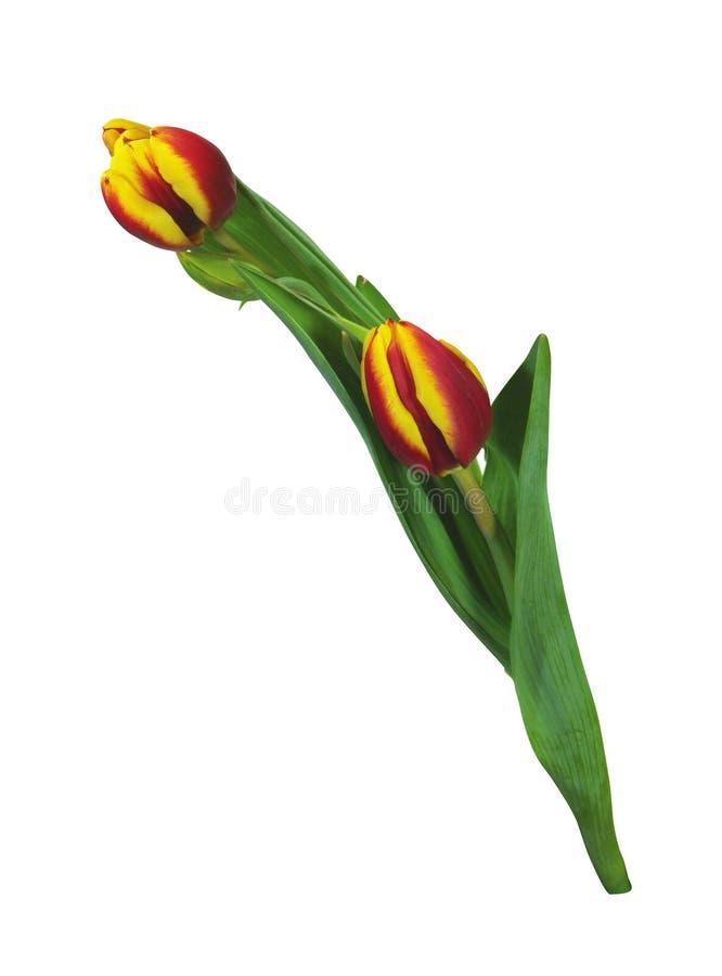 Flower Tulips Isolated On White stock image