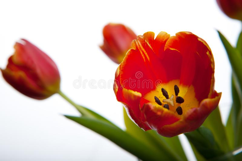 Tulips flowering in studio quality 8 March. Flower tulips in studio quality 8 March woman gift postcard stock photo