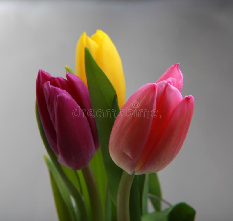 Tulips flowering in studio quality 8 March. Flower tulips in studio quality 8 March woman gift postcard royalty free stock photo