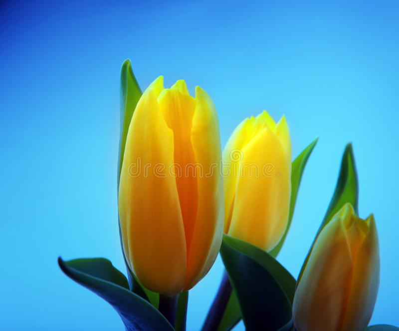 Tulips flowering in studio quality 8 March. Flower tulips in studio quality 8 March woman gift postcard stock images
