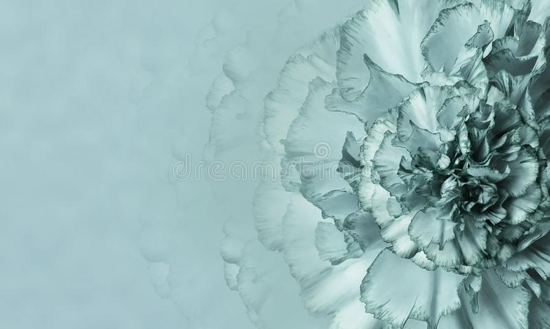 A flower of a turquoise-white carnation on a turquoise monophonic background. Close-up. Floral background for a postcard. stock images