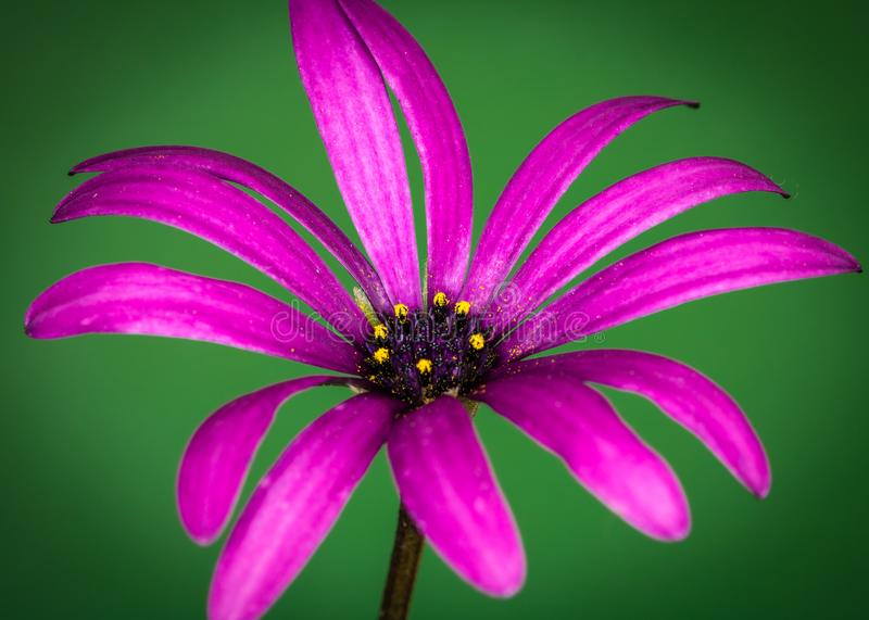 Flower up Close. Beautiful Red flower up close and Isolated stock photography