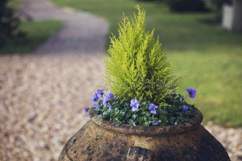 Flower Urn in Garden. Flower urn in a garden filled with violas and leylandi royalty free stock images