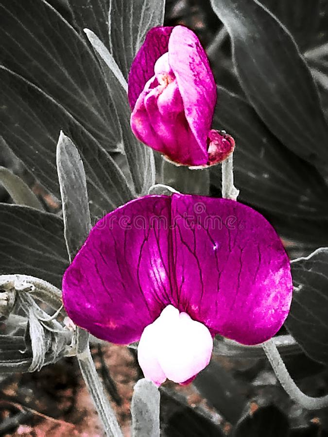 Flower veins royalty free stock image