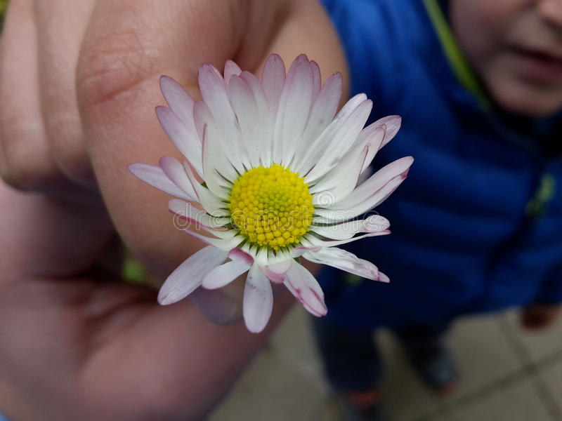 Flower held by a child royalty free stock photos