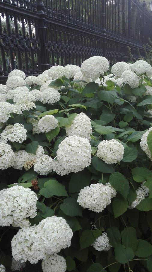 Flower at Vienna. Whiteflower, big, bigflower stock photos