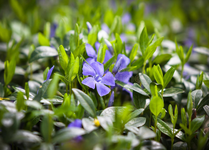 Flower vinca minor. Periwinkle (Vinca minor) small plants with flowers royalty free stock photography