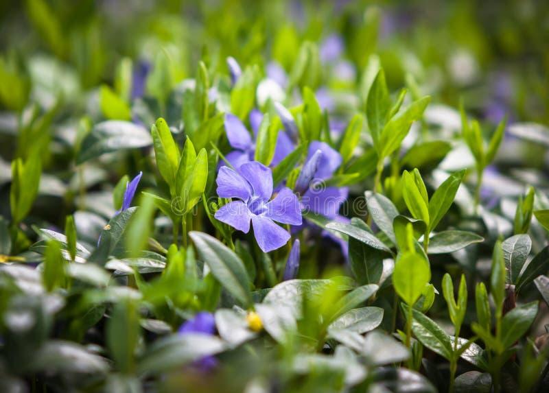 Flower vinca minor royalty free stock photography