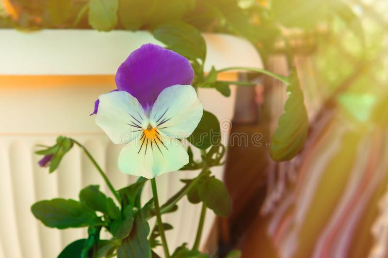 Flower viola in cream flowerpot close up. Flower viola in cream flowerpot close-up stock image