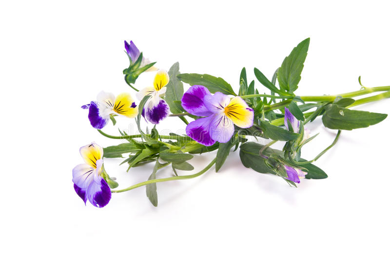 Flower Viola tricolor or Pansy stock photo