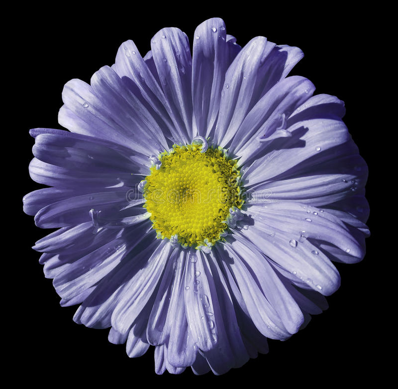 Flower violet-blue Chamomile on black isolated background with clipping path. Daisy purple-yellow with droplets of water for desig. N. Closeup. Nature royalty free stock photography