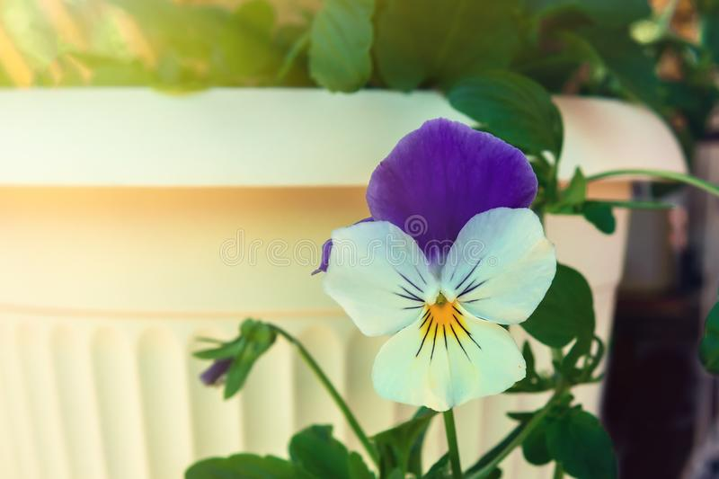 Flower violet in cream flowerpot close up. Flower violet in cream flowerpot close-up stock image