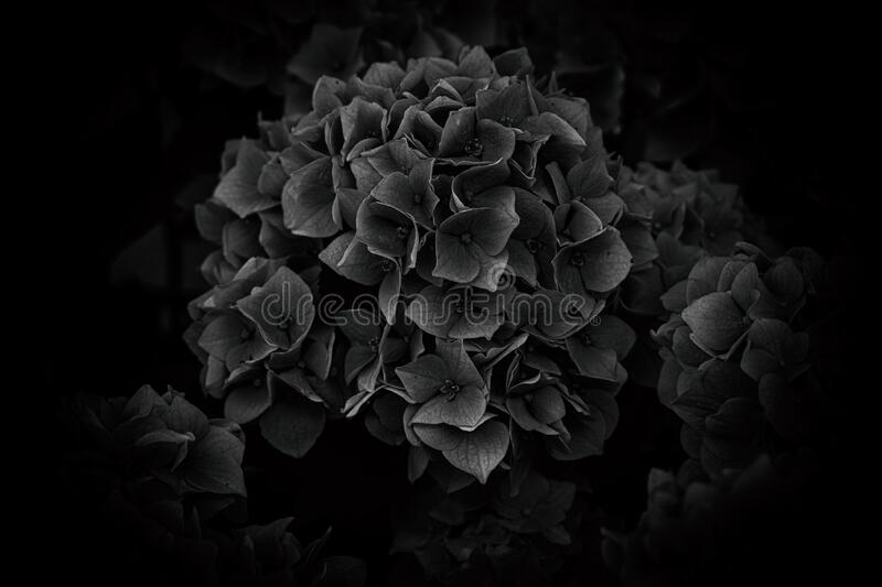 Flower of a violet hydrangea in the garden close-up stock photos
