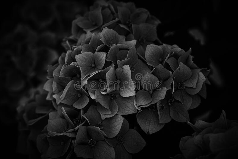 Flower of a violet hydrangea in the garden close-up stock photography