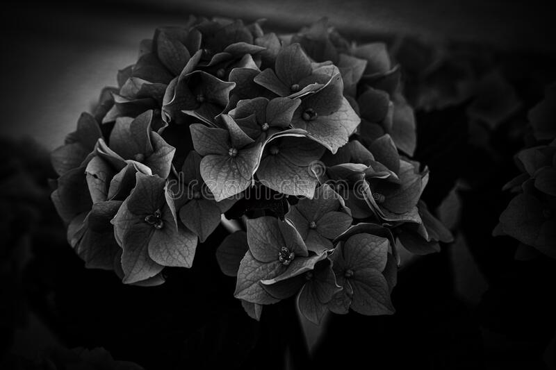 Flower of a violet hydrangea in the garden close-up royalty free stock images