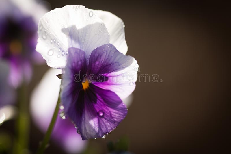 Flower, Violet, Purple, Pansy stock images