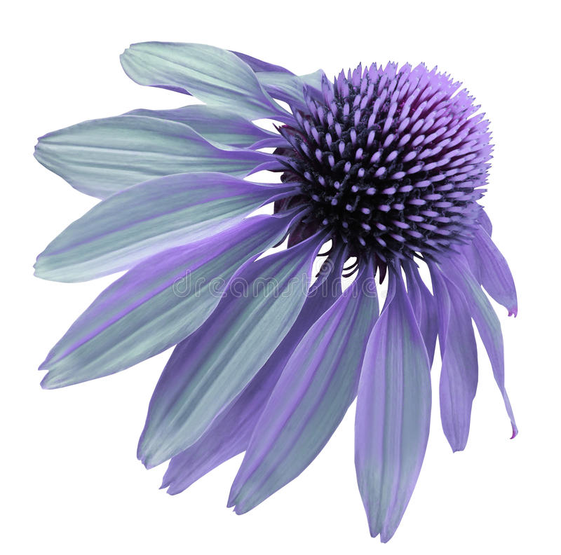 Flower violet-turquoise Chamomile on a white isolated background with clipping path. Daisy purple for design. Closeup no shadows. Nature stock images