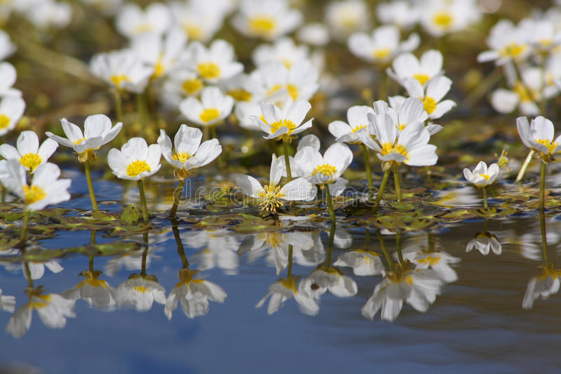 Flower on water royalty free stock photos