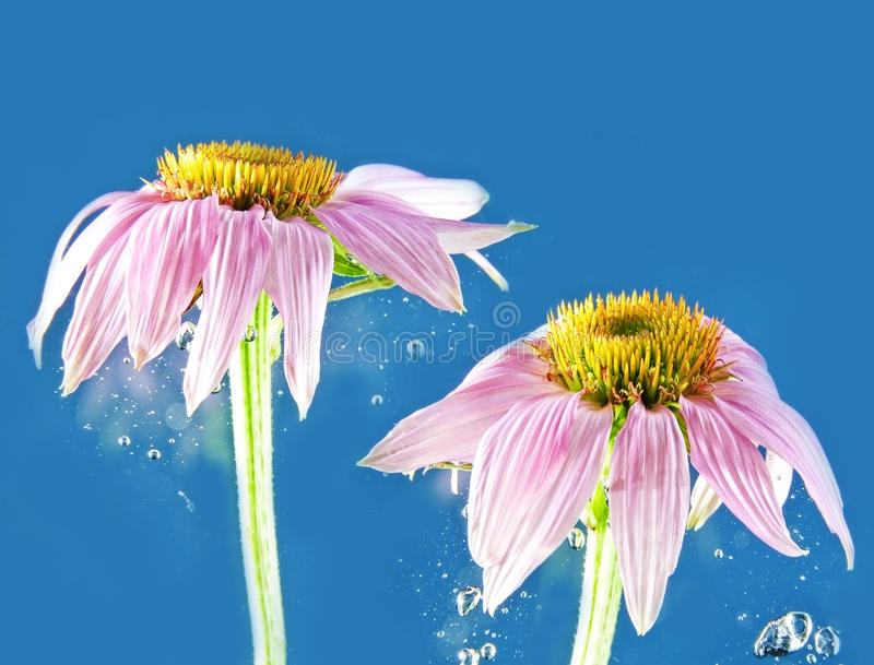 Flower in water. Pink flower in blue water stock images