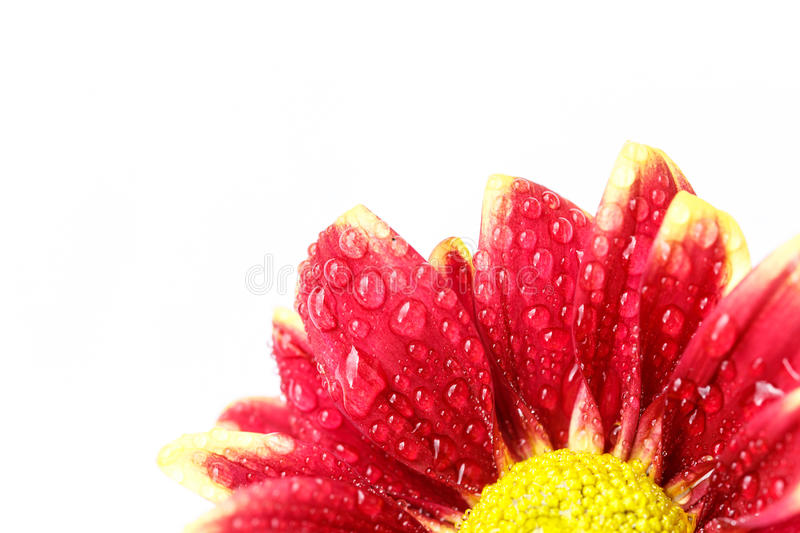 Flower with water drop. Close up flower with water drop stock image
