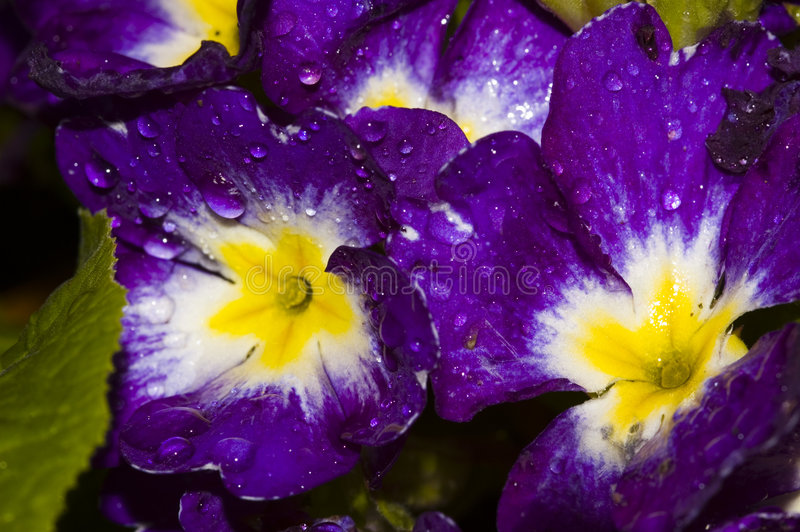 Flower and water drops royalty free stock photography
