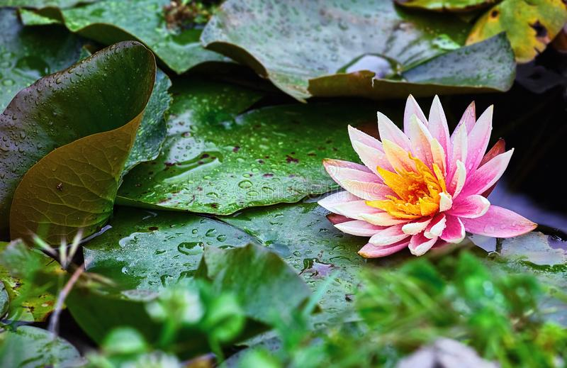 Flower water lily nymphea pink petals royalty free stock photo