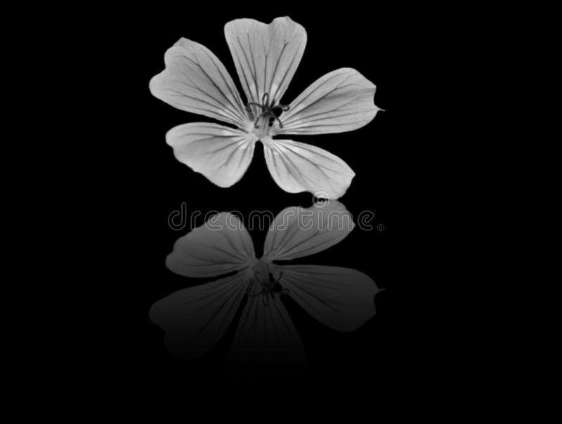 A flower whit reflection. A flower with reflection, with black background royalty free stock images