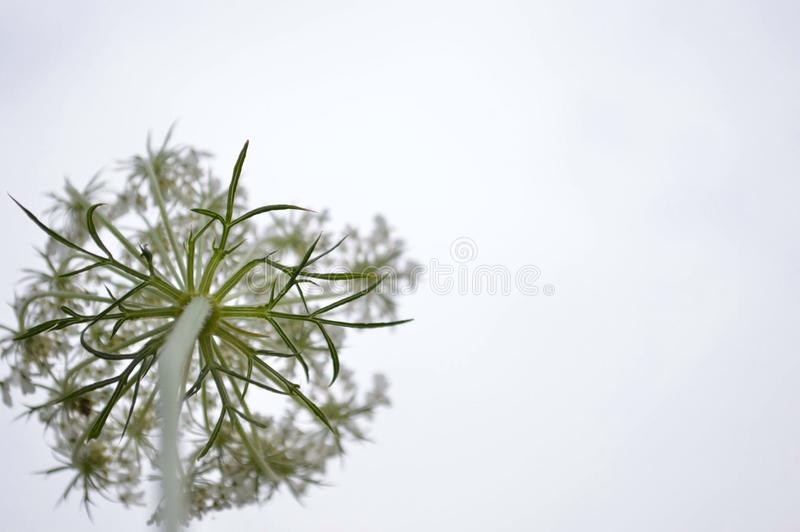 Close up of dandelion seed head stock image