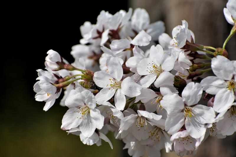 Flower, White, Blossom, Cherry Blossom royalty free stock photography
