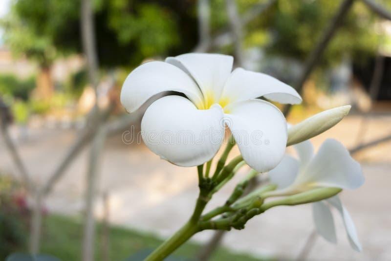 Close up shot of Champak flowers stock photography