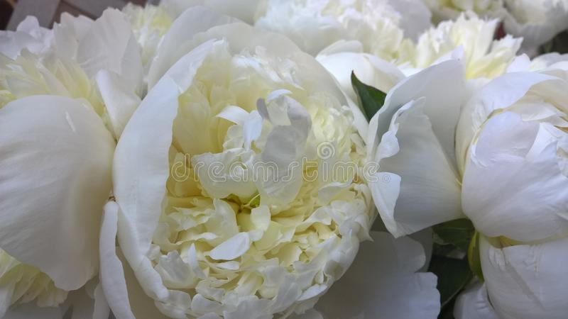 Flower, White, Flowering Plant, Plant royalty free stock photos