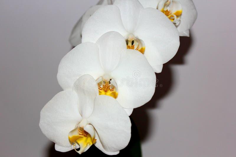 Flower, White, Flowering Plant, Moth Orchid stock photo