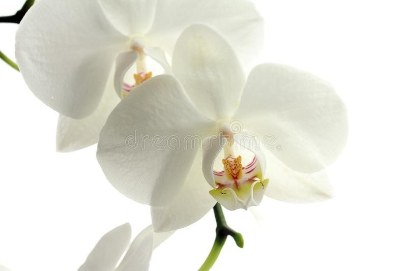 Flower, White, Flowering Plant, Moth Orchid royalty free stock image