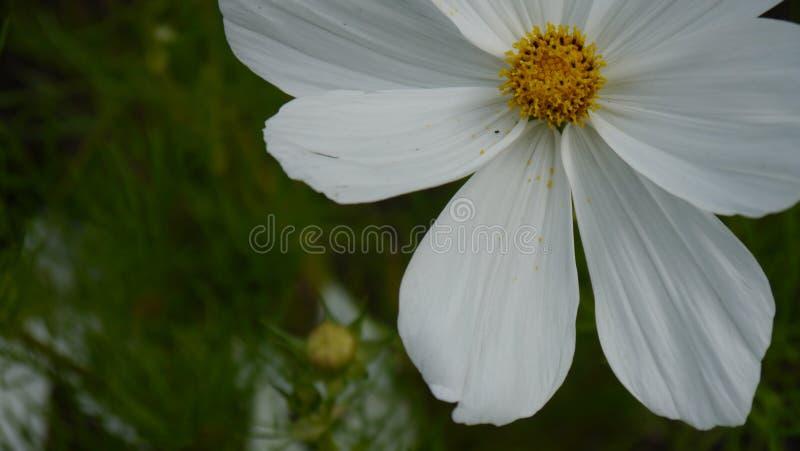 Flower, White, Garden Cosmos, Plant stock photo