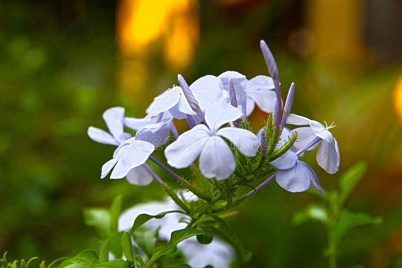 Flower White Gardens Plant Tropical stock photography