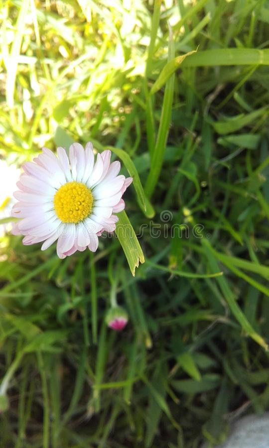 Flower. White flower in the grass royalty free stock image